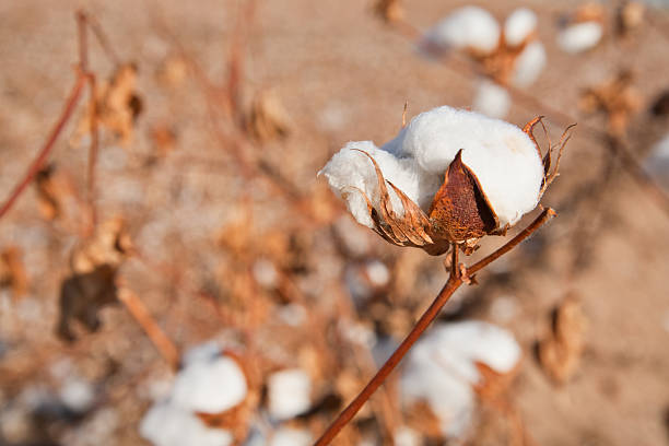 Cotton Ready for Picking stock photo
