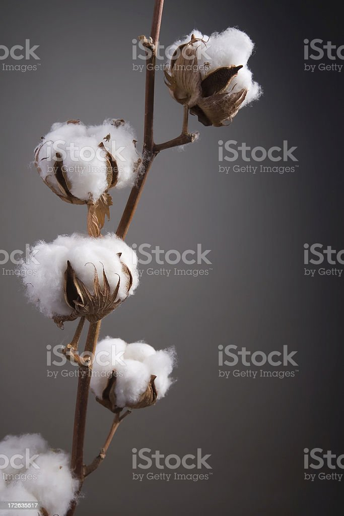 cotton seed pods stock photo