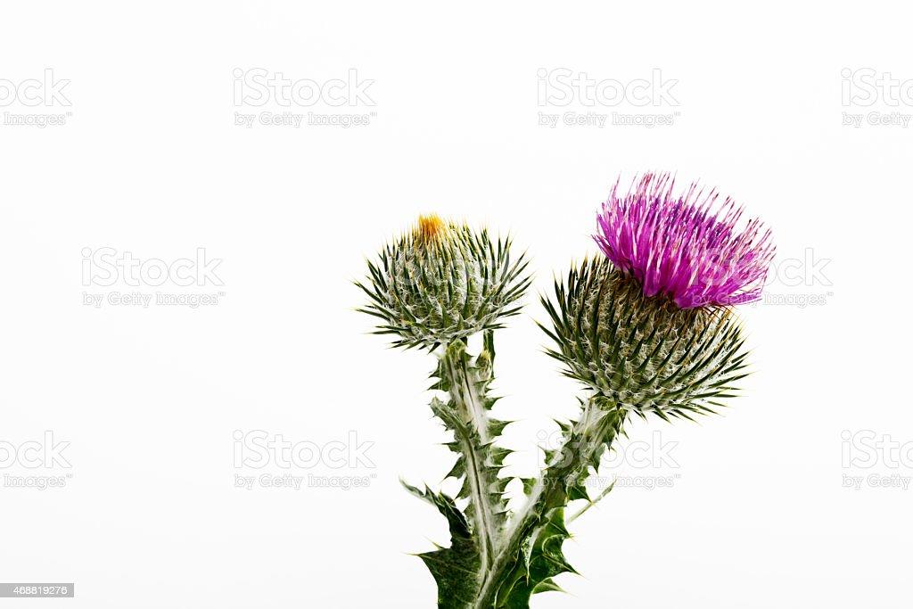 Cotton thistle, flower stock photo