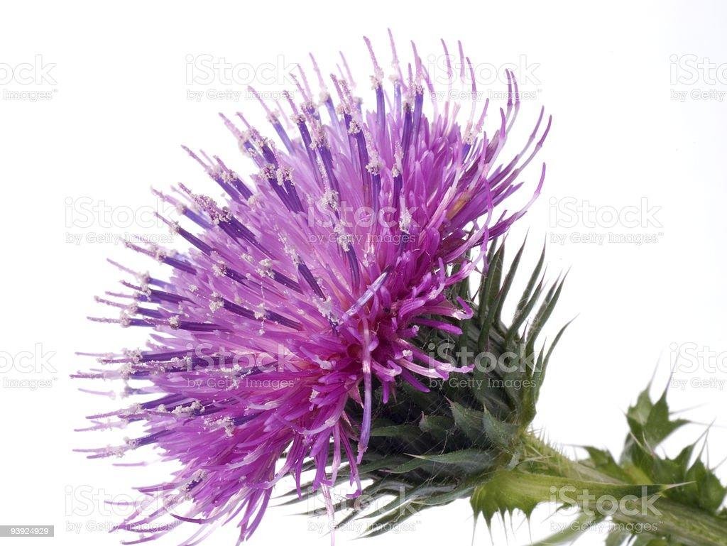 Cotton Thistle flower stock photo