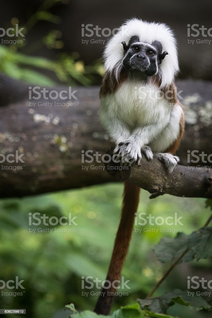 Cotton top monkey stock photo