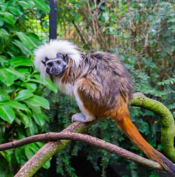 singe tamarin haut de coton une espèce animale tropicale rare et menacée de colombie - tamarin photos et images de collection