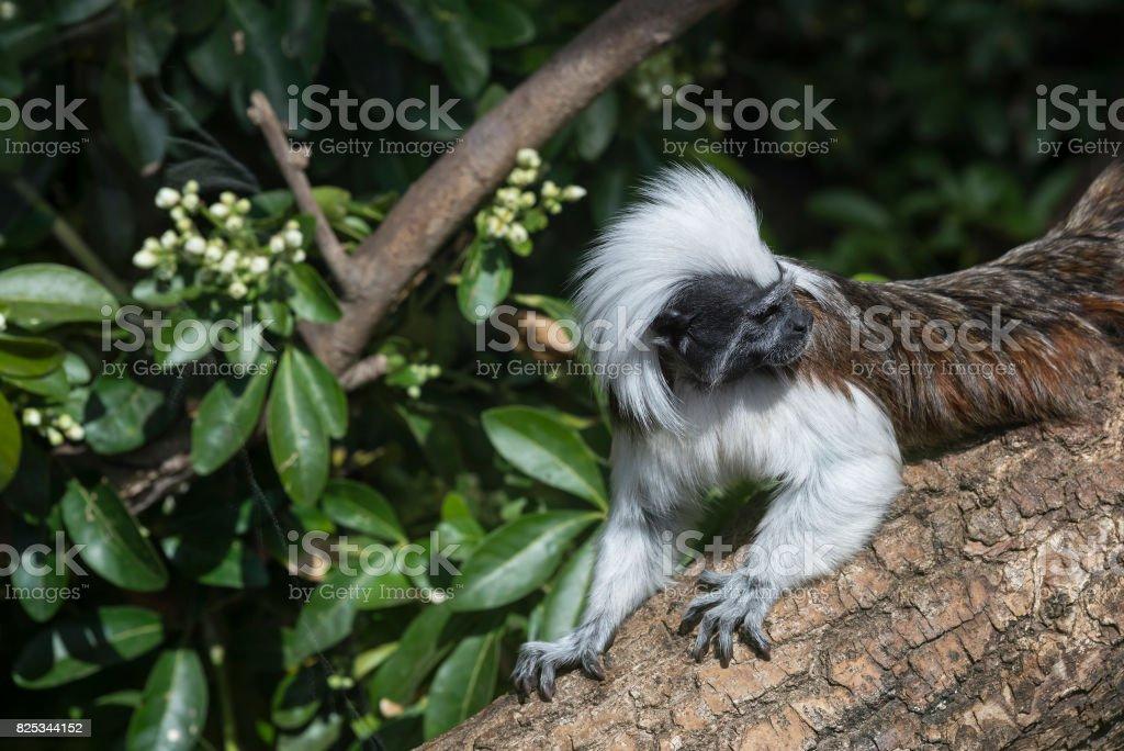 Cotton Top Tamarin Saguinus Oedipus lain on tree branch in sunlight stock photo