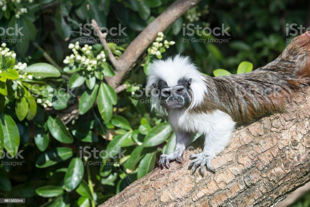 Cotton Top Tamarin Saguinus Oedipus lain on tree branch stock photo