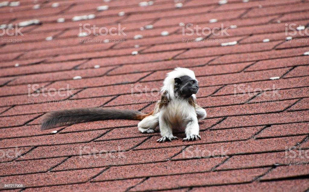 Cotton top tamarin sitting on rooftop stock photo
