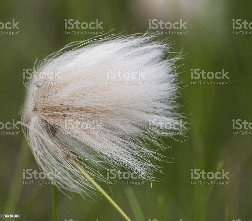 cotton-grass at windy day stock photo