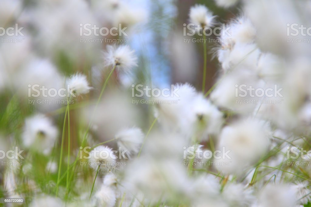 Cottongrass in Lapland stock photo
