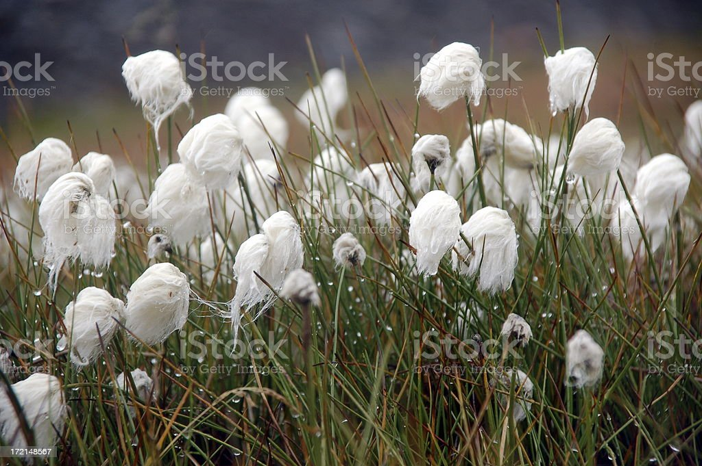 cottongrass stock photo