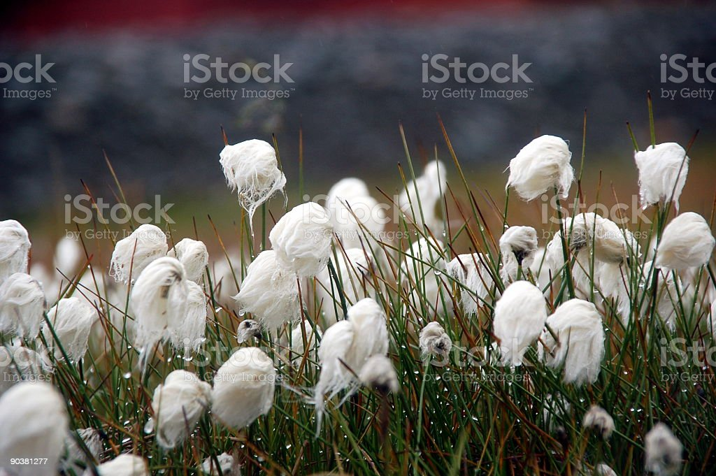 cottongrass royalty-free stock photo
