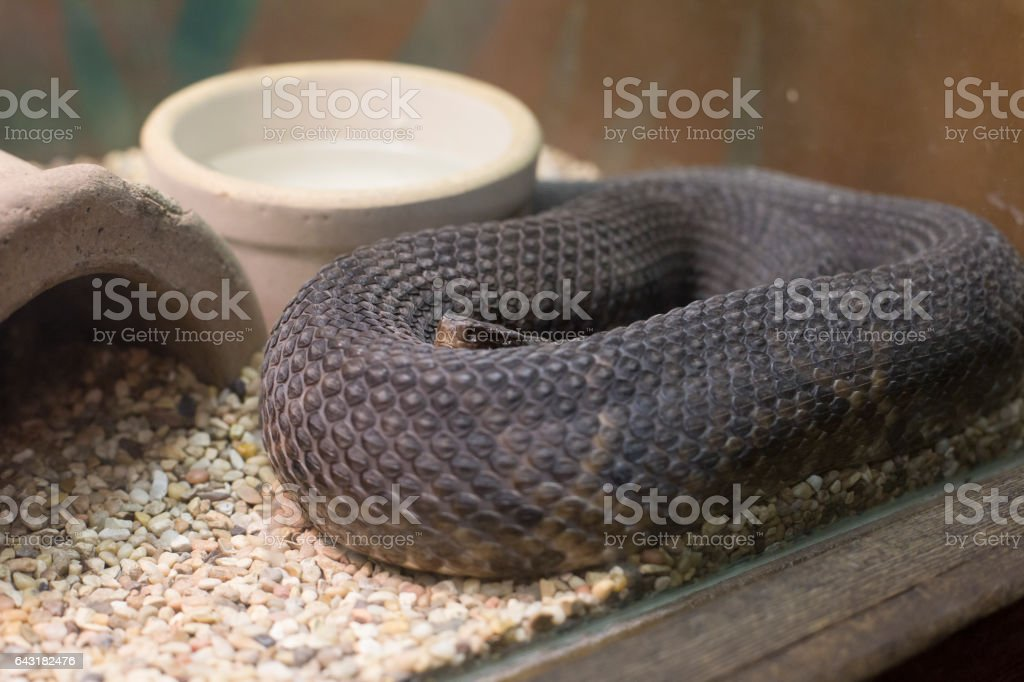 Cottonmouth stock photo