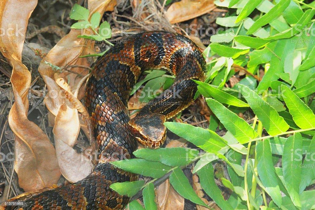Cottonmouth Snake (Agkistrodon piscivorus) stock photo