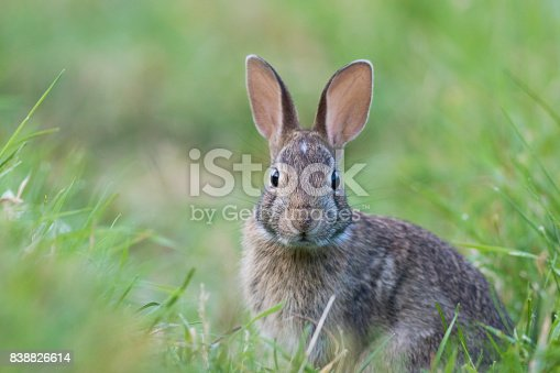 Cottontail bunny in summer