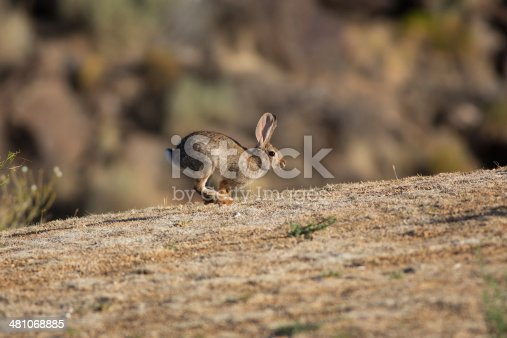 A cottontail rabbit hops up a slope in the desert country of southern Utah, USA.