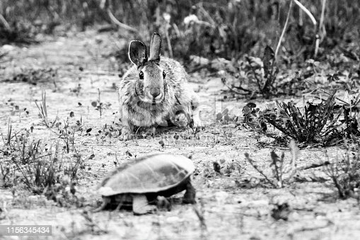A Cottontail Rabbit approaching a female Painted Turtle just after it finished laying her eggs.