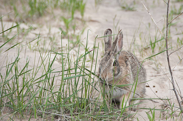 Cottontail rabbit eating grass stock photo