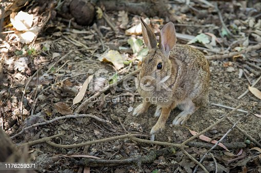 A cottontail rabbit in its natural habitat.