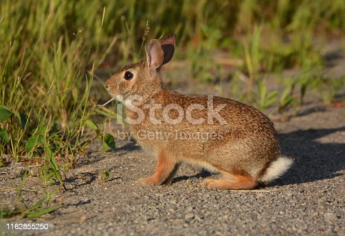 Close up of a Cottontail Rabbit sitting on the edge of a country road