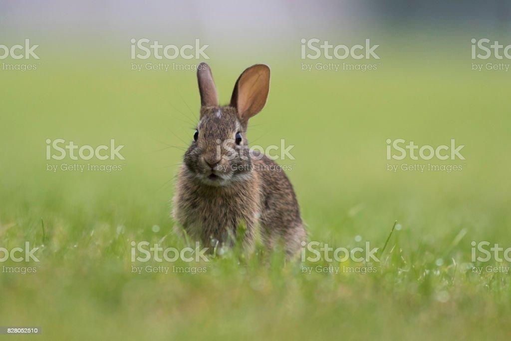 cottontail rabbit stock photo