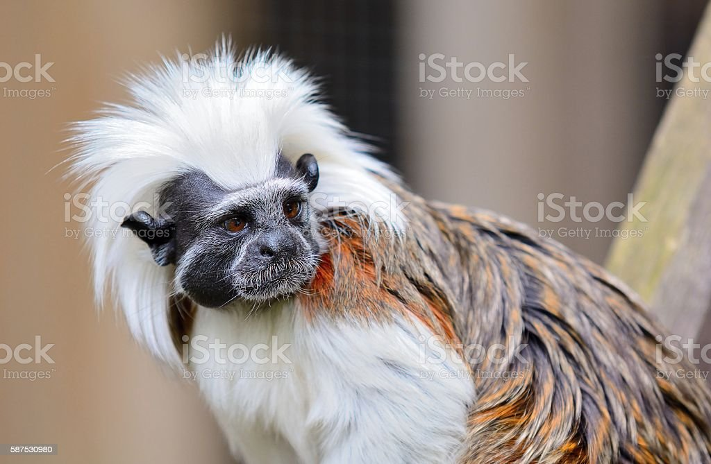 Cotton-top Tamarin monkey stock photo