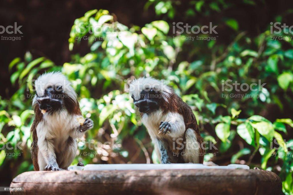 Cotton-top tamarin monkeys, Sanguinus oedipus stock photo