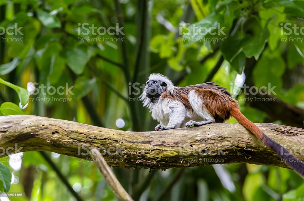 Cotton-top tamarin on the branch. stock photo