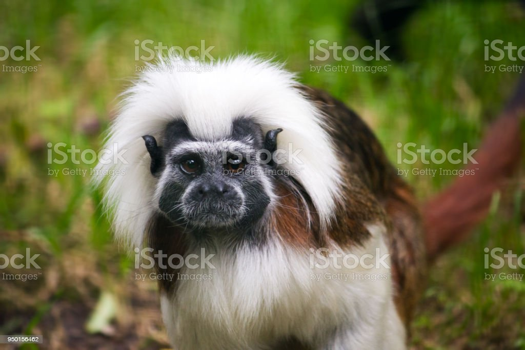 Cotton-top tamarin – Foto