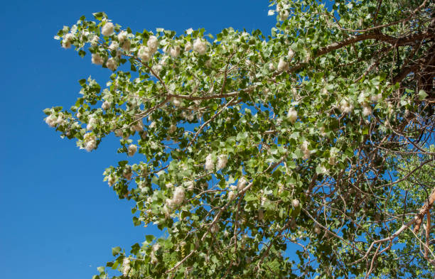Cottonwood Bough, loaded with cottony seeds A cottonwood bough loaded with seeds disperses them in the wind, against a blue sky background cottonwood tree stock pictures, royalty-free photos & images