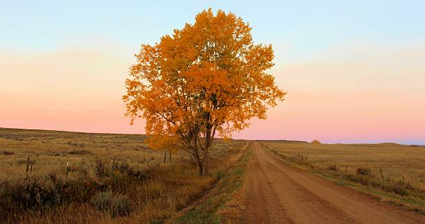 Cottonwood - fall colors Fall colors show up well in this lone cottonwood tree in the early morning light.  Picture taken in October in southeast Montana, east of Broadus, Montana. cottonwood tree stock pictures, royalty-free photos & images