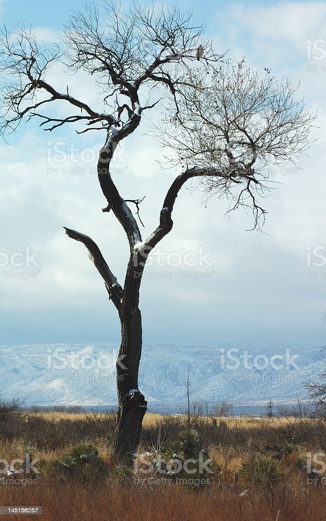 Cottonwood Tree royalty-free stock photo
