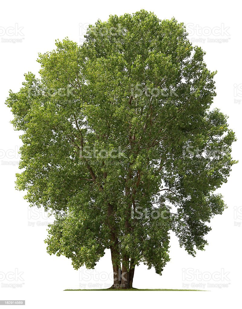 Cottonwood Tree stock photo