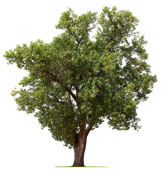 Cottonwood Tree A Cottonwood tree isolated on white.To see more isolated trees click on the link below: cottonwood tree stock pictures, royalty-free photos & images