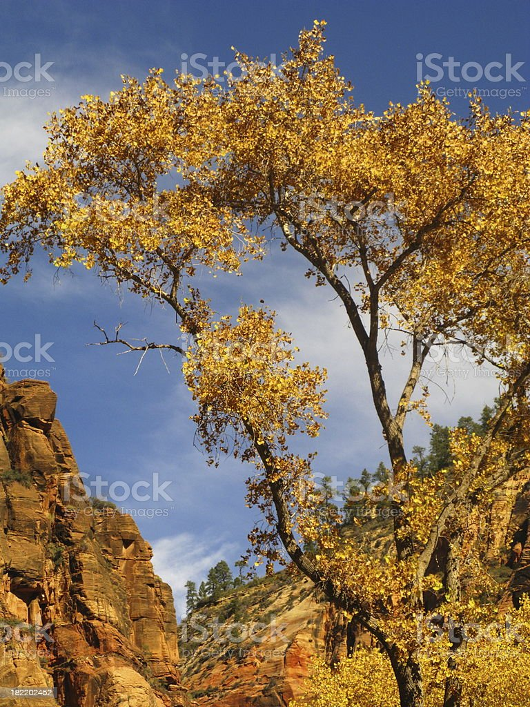Cottonwood Tree Zion National Park Autumn royalty-free stock photo