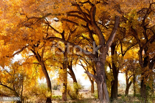 Cottonwood trees in Fall colors. Taken near the Rio Grande in Belen, New Mexico, USA.