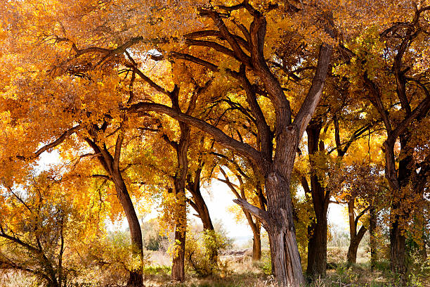 Cottonwood Trees in New Mexico USA Fall Colors Cottonwood trees in Fall colors. Taken near the Rio Grande in Belen, New Mexico, USA. cottonwood tree stock pictures, royalty-free photos & images
