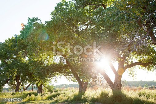 Cottonwood trees at sunset growing in the Rio Grande Valley of New Mexico, USA.