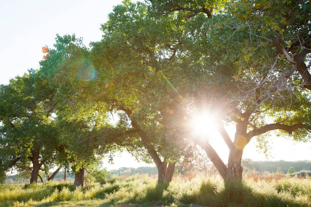 Cottonwood Trees with Sun Shining Through in Late Summer Cottonwood trees at sunset growing in the Rio Grande Valley of New Mexico, USA. cottonwood tree stock pictures, royalty-free photos & images