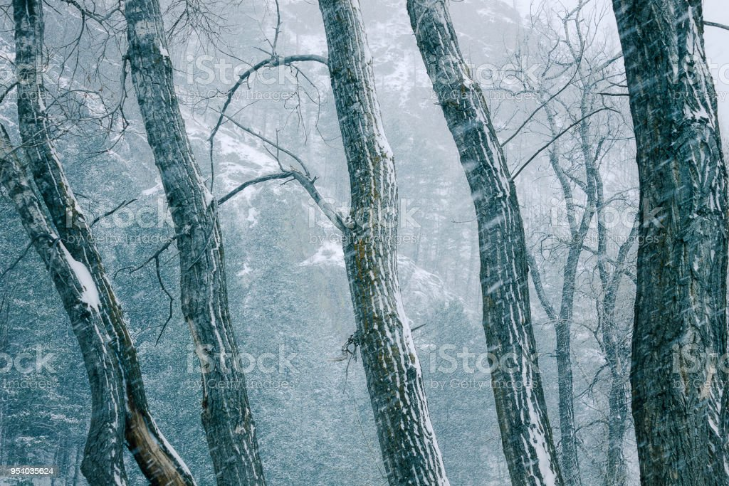 Cottonwoods in a Blizzard stock photo