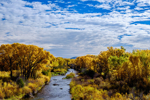 Cottonwoods in Autumn along river Cottonwoods in autumn along a river in Colorado cottonwood tree stock pictures, royalty-free photos & images