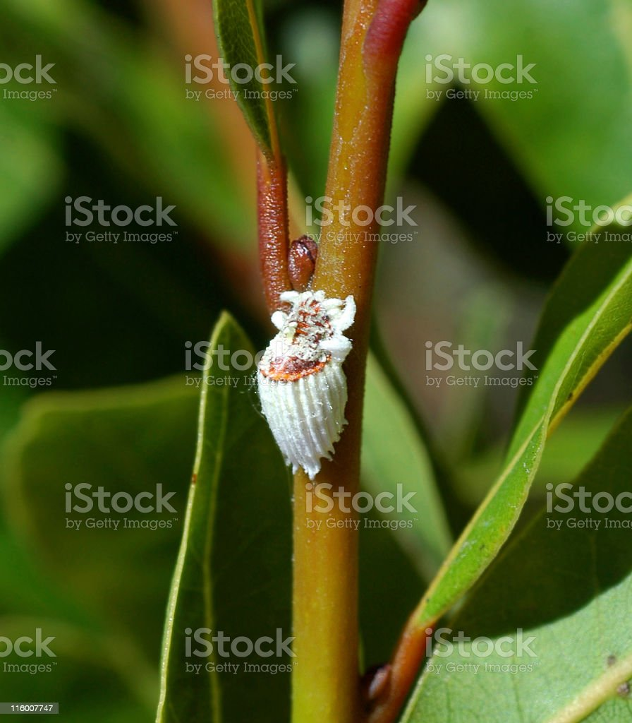 Cottony Cushion Scale Icerya Purchasi Stock Photo More Pictures Of
