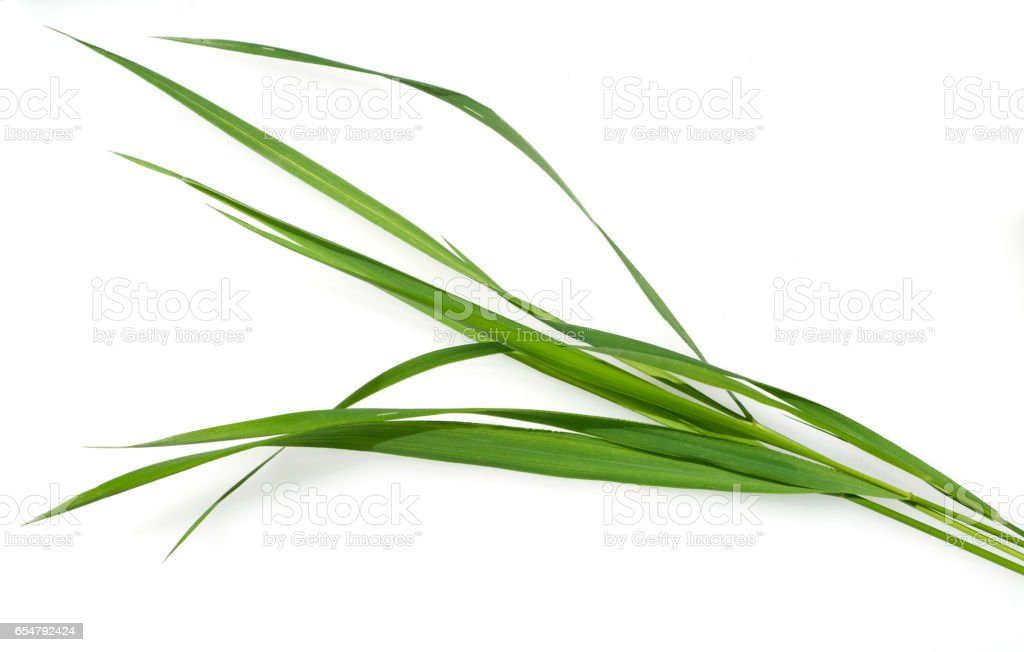 Couch grass; Agropyron repens stock photo