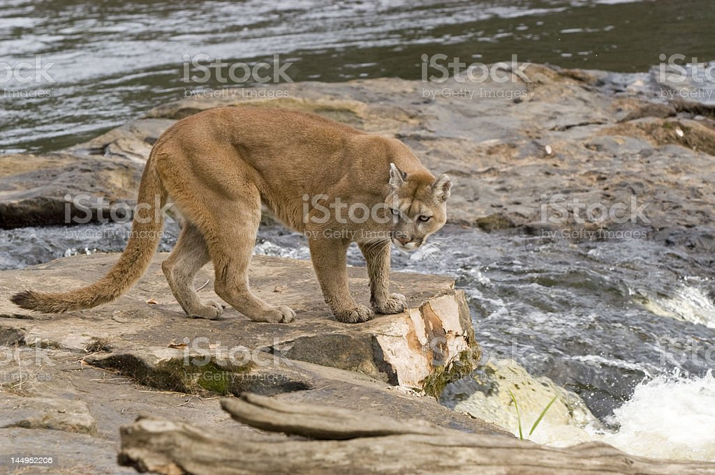 Cougar by river royalty-free stock photo