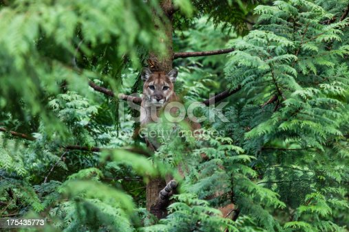 Female cougar sitting in a Cedar Tree looking directly at the camera