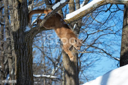 Cougar or mountain lion jumping down from a tree limb.