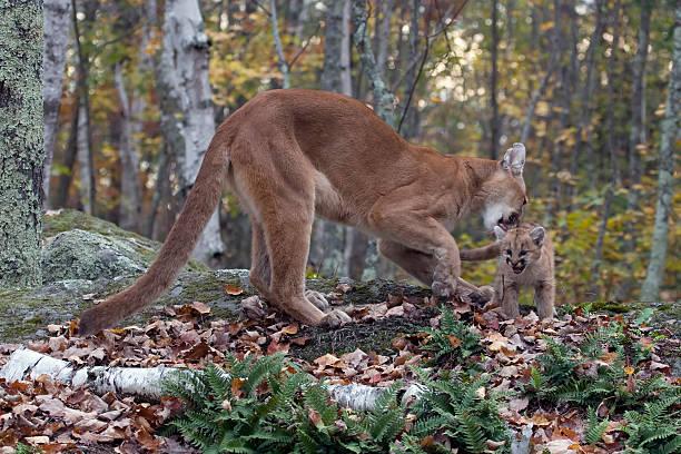 Cougar lick picture id145908979?b=1&k=6&m=145908979&s=612x612&w=0&h=5xyix6rq492 2fv cidjkiovfltpou0jhqo9rr2bdni=