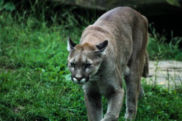 cougar oder puma - schwarzer puma stock-fotos und bilder
