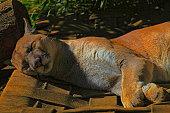 istock Cougar panther resting, sleeping on the Grass - Pantanal wetlands, Brazil 1130587490