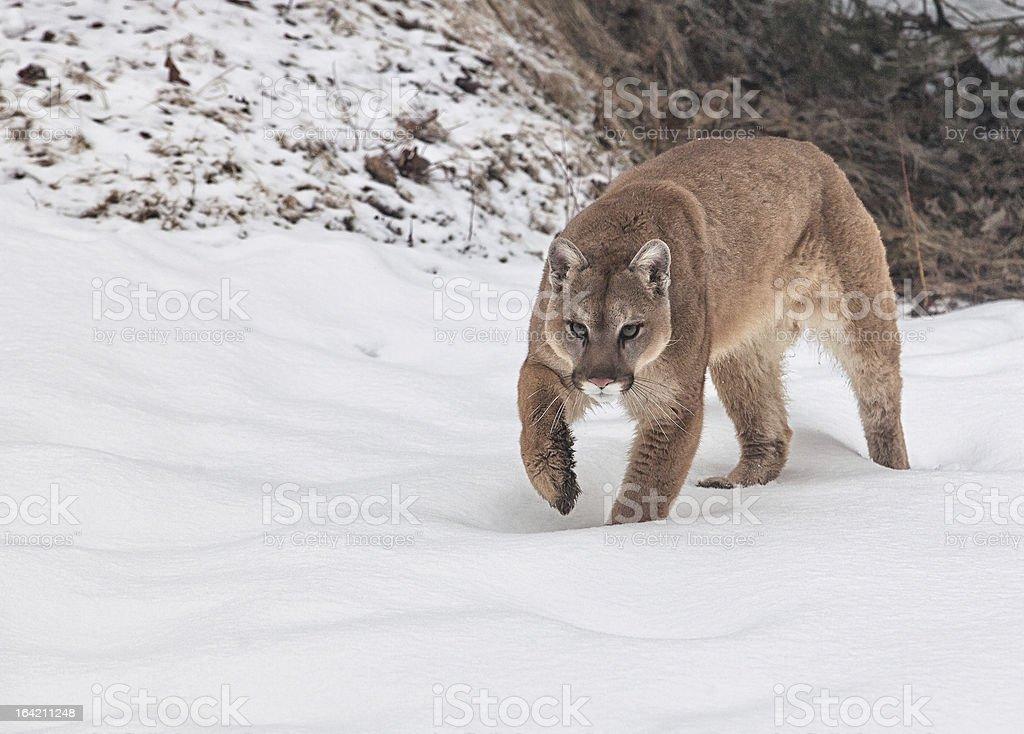 Cougar royalty-free stock photo
