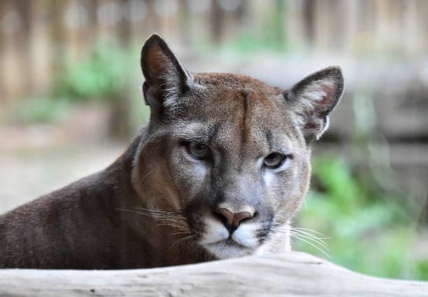 cougar - schwarzer puma stock-fotos und bilder