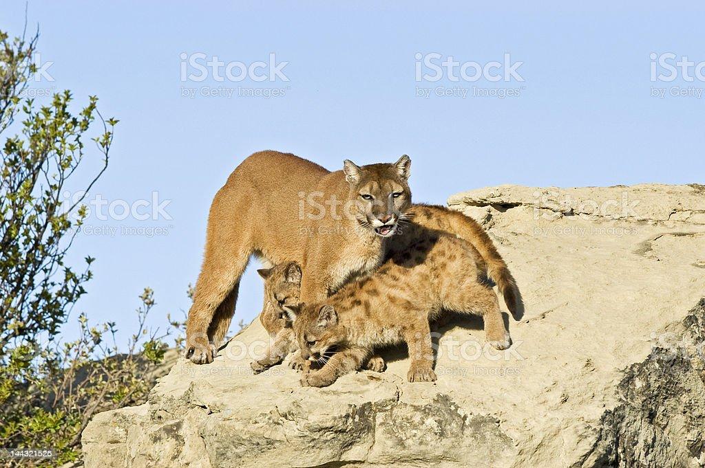 Cougar protecting her kits royalty-free stock photo