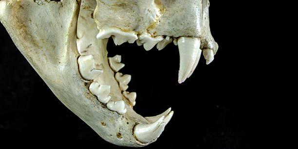 cougar schädel vollständige seite anzeigen - schwarzer puma stock-fotos und bilder